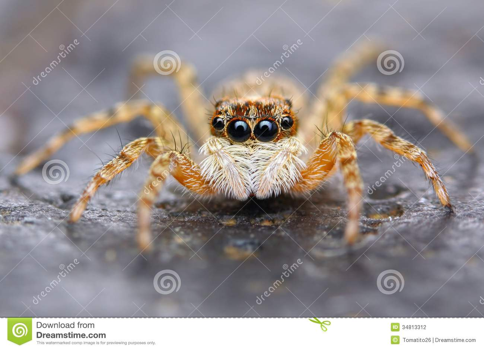 little spanish jumping spider