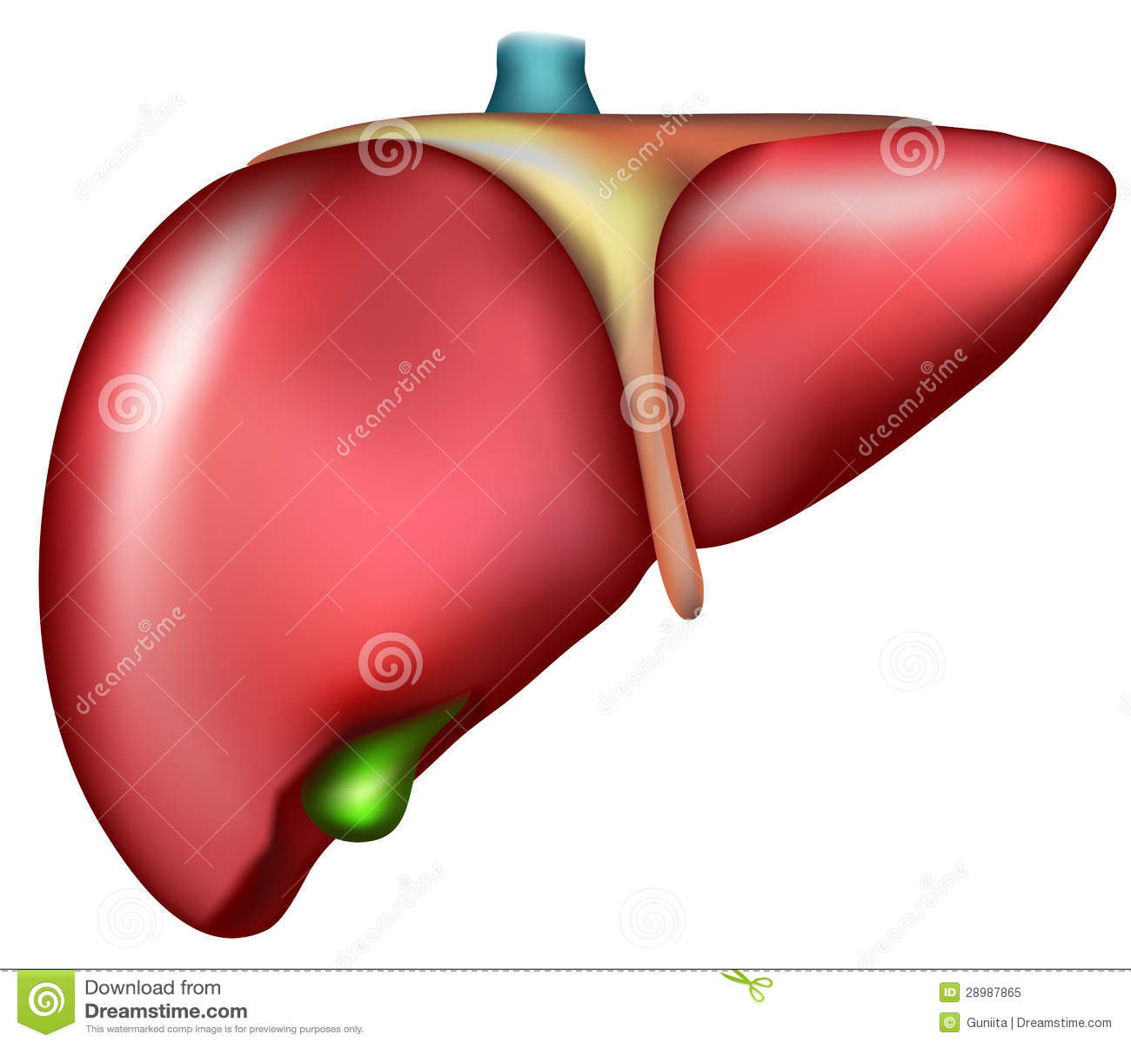 human liver diagram mitsubishi lancer cd player wiring stock vector illustration of chart