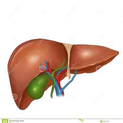 Where Is Human Liver Located Diagram 1970 Nova Wiring Drawing
