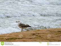 Lonely Seagull Shore Stock - 63267271