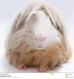 long haired guinea pig [ 1300 x 1108 Pixel ]