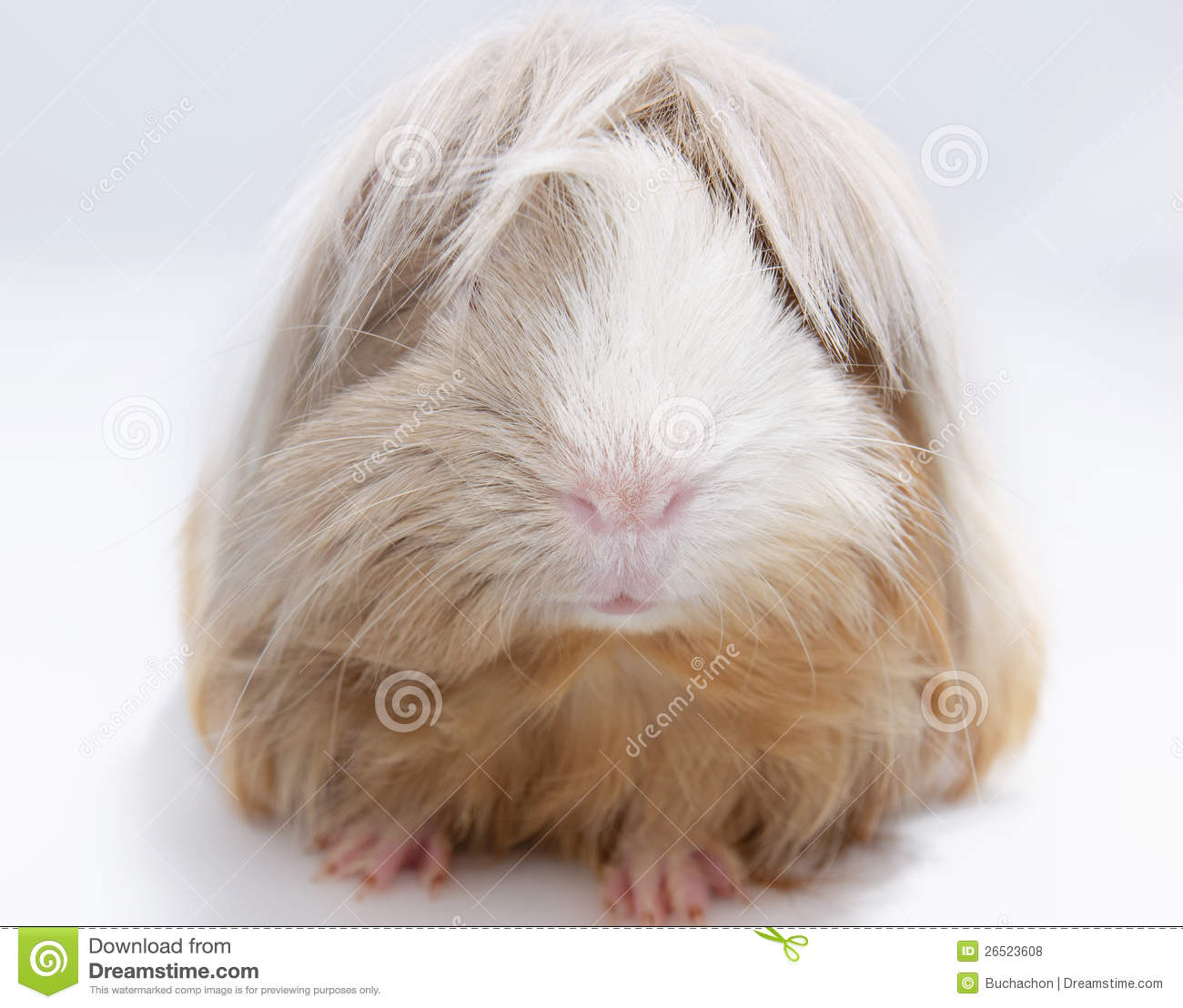 hight resolution of long haired guinea pig
