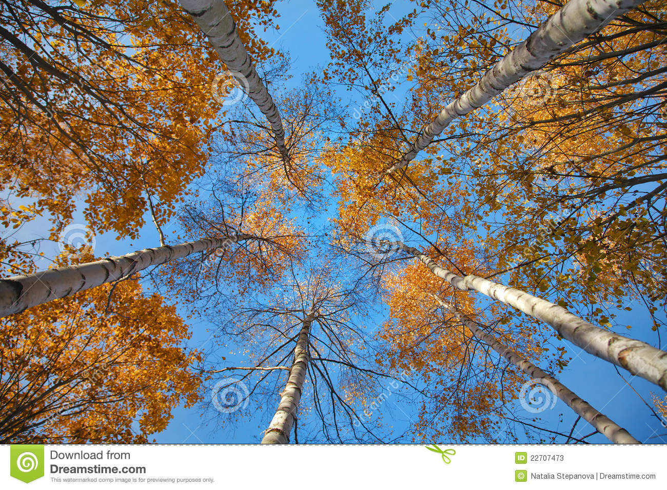 Free Fall Foliage Wallpaper Looking Up In The Autumn Forest From Below Stock Image
