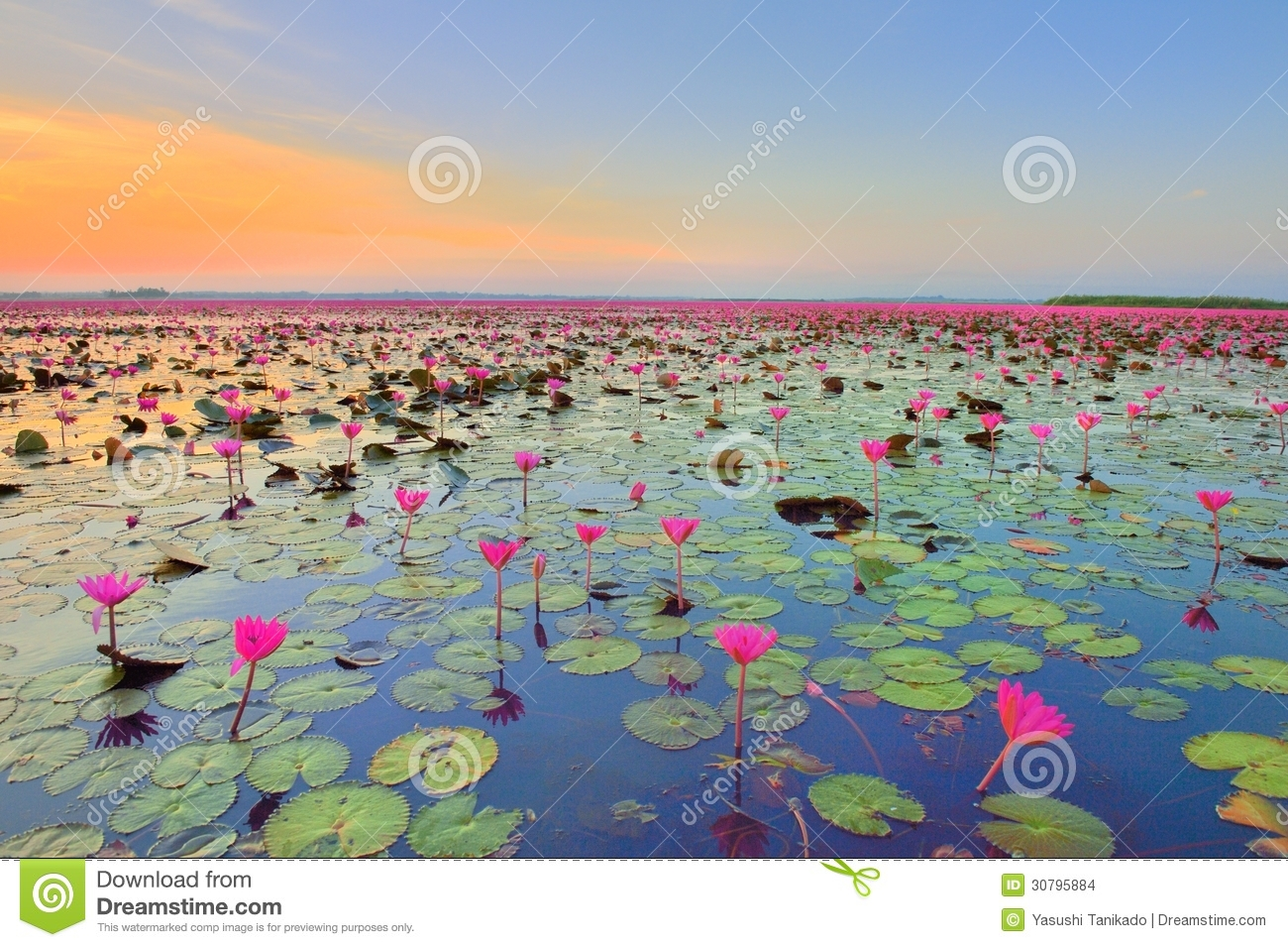 Lotus Flower Field Stock Images Image 30795884
