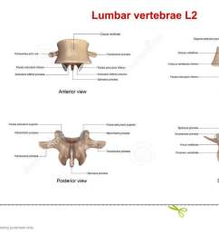 the lumbar vertebrae are in human anatomy the five vertebrae between the rib cage and the pelvis they are the largest segments of the vertebral column  [ 1300 x 716 Pixel ]