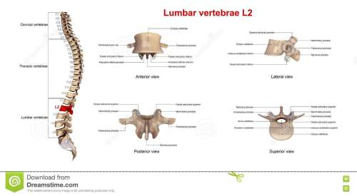 small resolution of the lumbar vertebrae are in human anatomy the five vertebrae between the rib cage and the pelvis they are the largest segments of the vertebral column