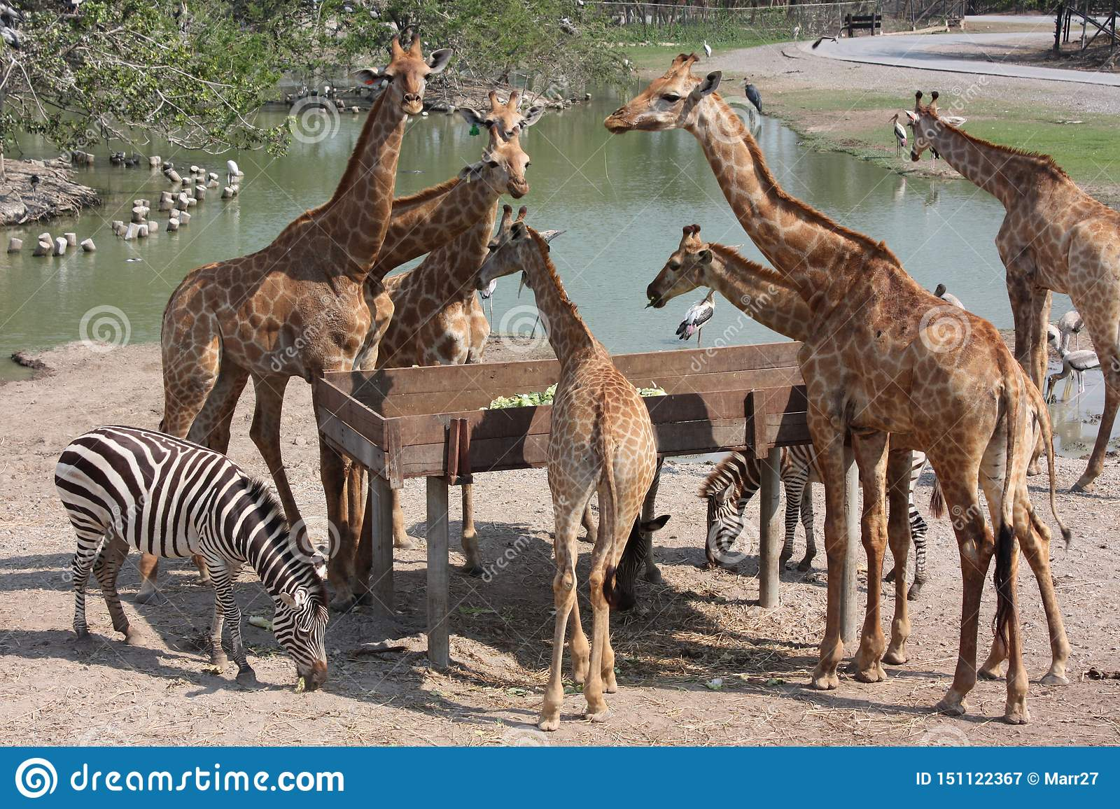 Lunch Giraffes And Zebras Zoo Thailand Stock Image