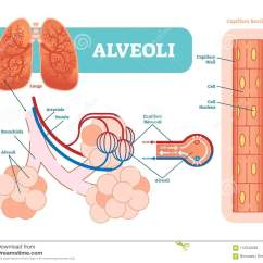 Lung Alveoli Diagram Wiring For Lights Uk Capillary Cartoons Illustrations And Vector Stock Images