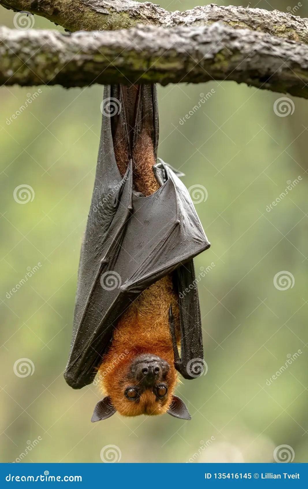 果蝠 狐蝠屬 庫存照片 - 下載 336 免版稅圖像