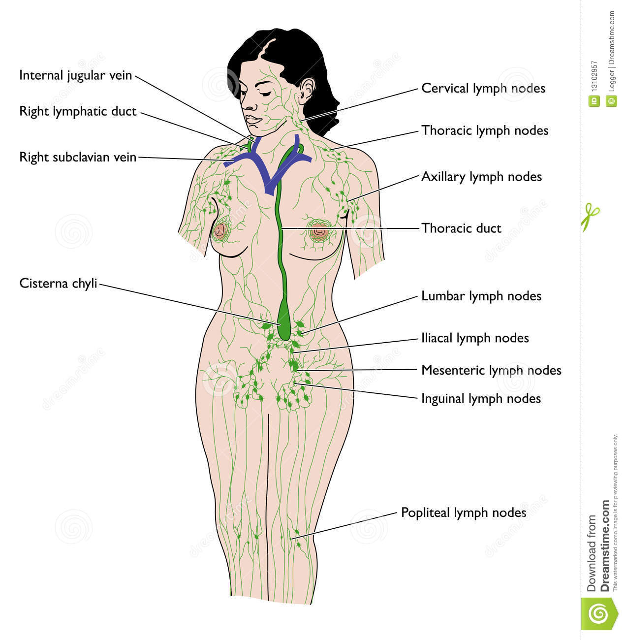 hight resolution of overview of the lymphatic system including ducts nodes cisterna chyli and thoracic duct