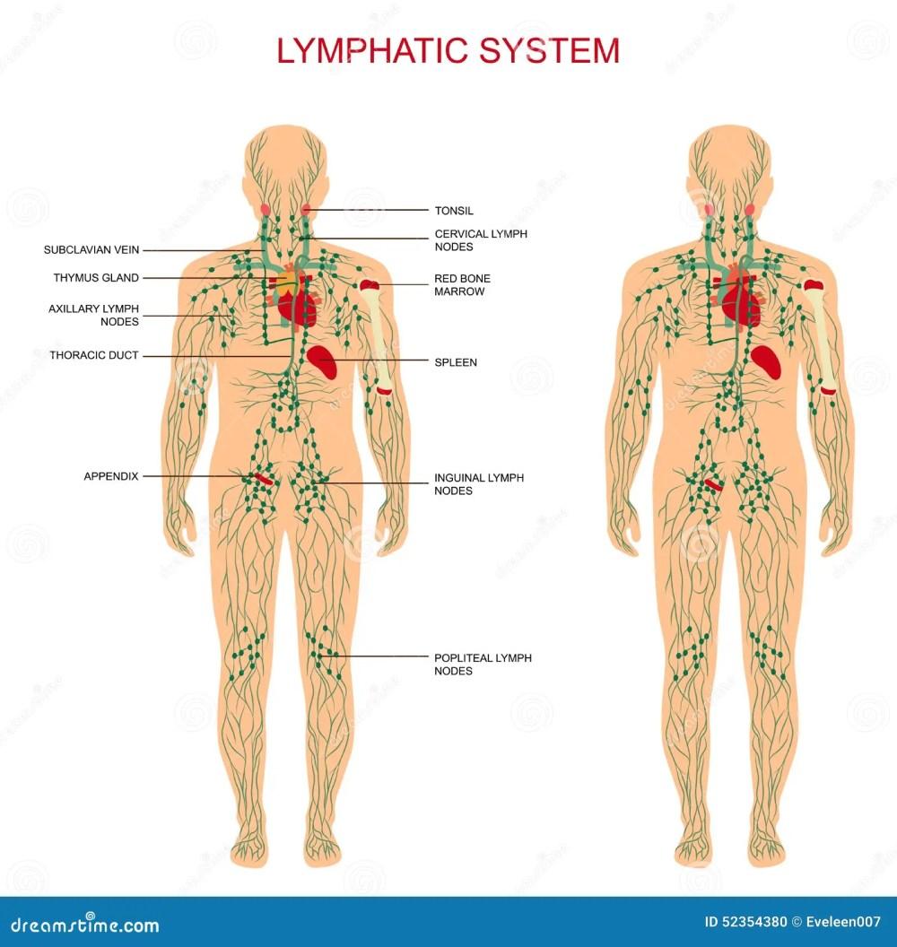 medium resolution of human anatomy lymphatic system medical illustration lymph nodes