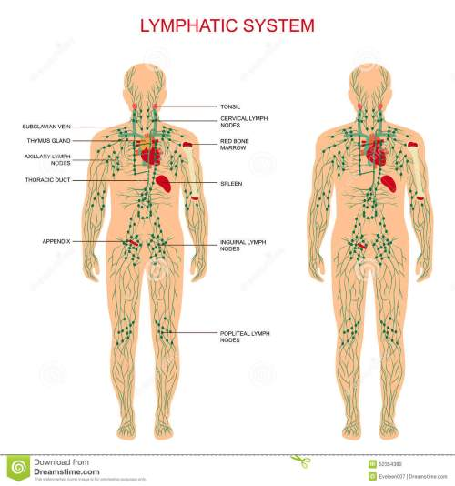 small resolution of human anatomy lymphatic system medical illustration lymph nodes