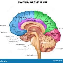 Easy Brain Diagram Fender 5 Way Switch Människa Anatomy Vektor Illustrationer Bild 54987873