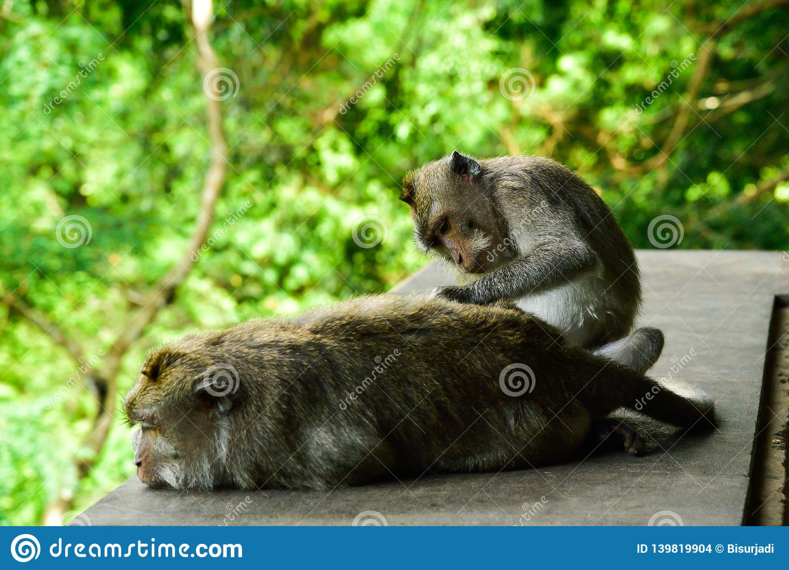 Macaques Monkeys In The Sacred Monkey Forest In Ubud Bali