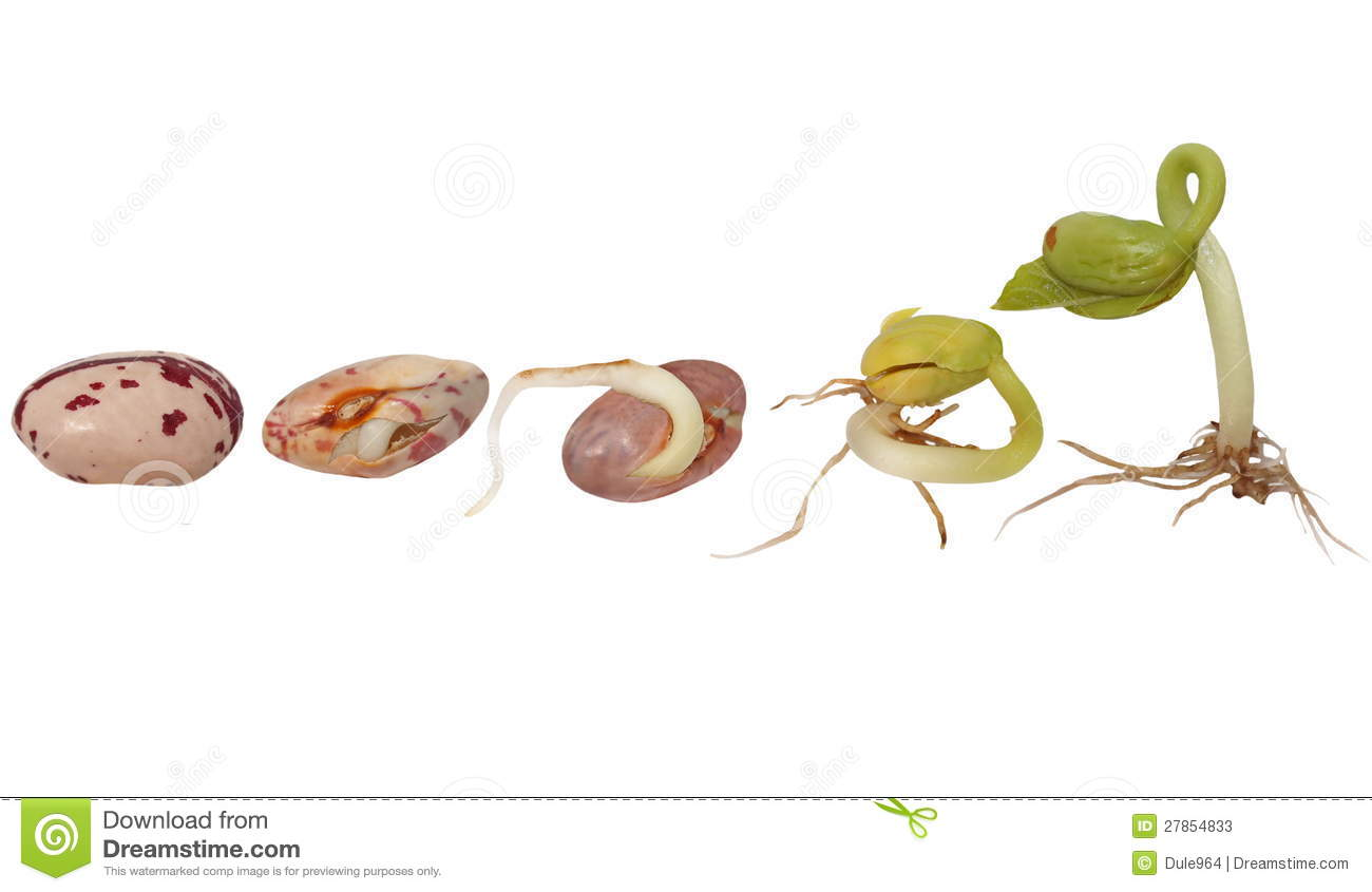 Macro Germination D Haricot D Isolement Image Stock