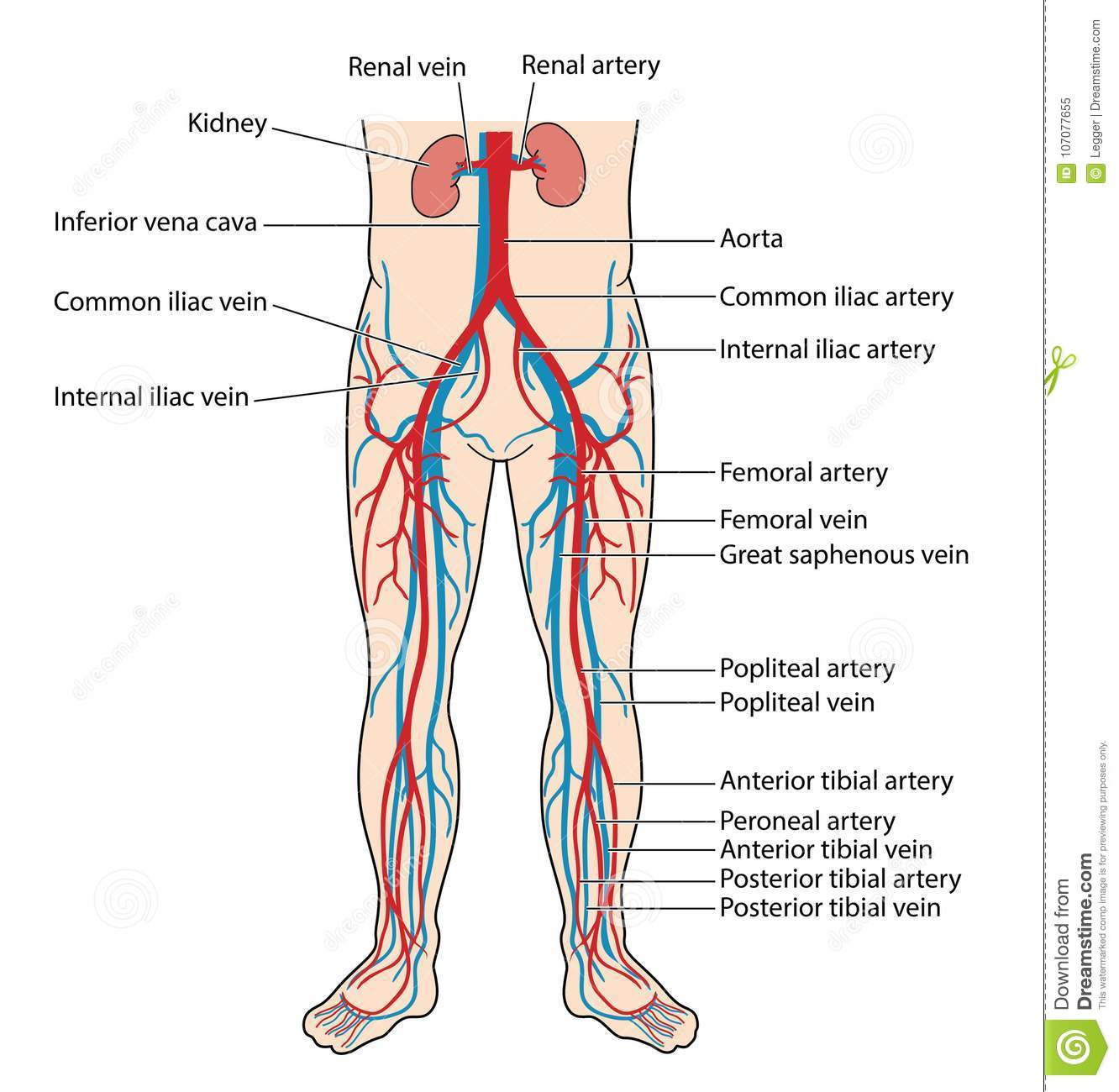 vascular anatomy diagram lower wiring for 7 pin trailer lights blood vessels of the body stock vector illustration vein
