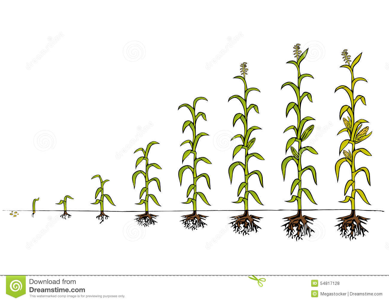 corn plant diagram home electric fleischwolf maize development stages of growth stock vector