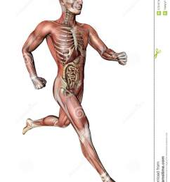 male body with skeletal muscles and organs [ 957 x 1300 Pixel ]