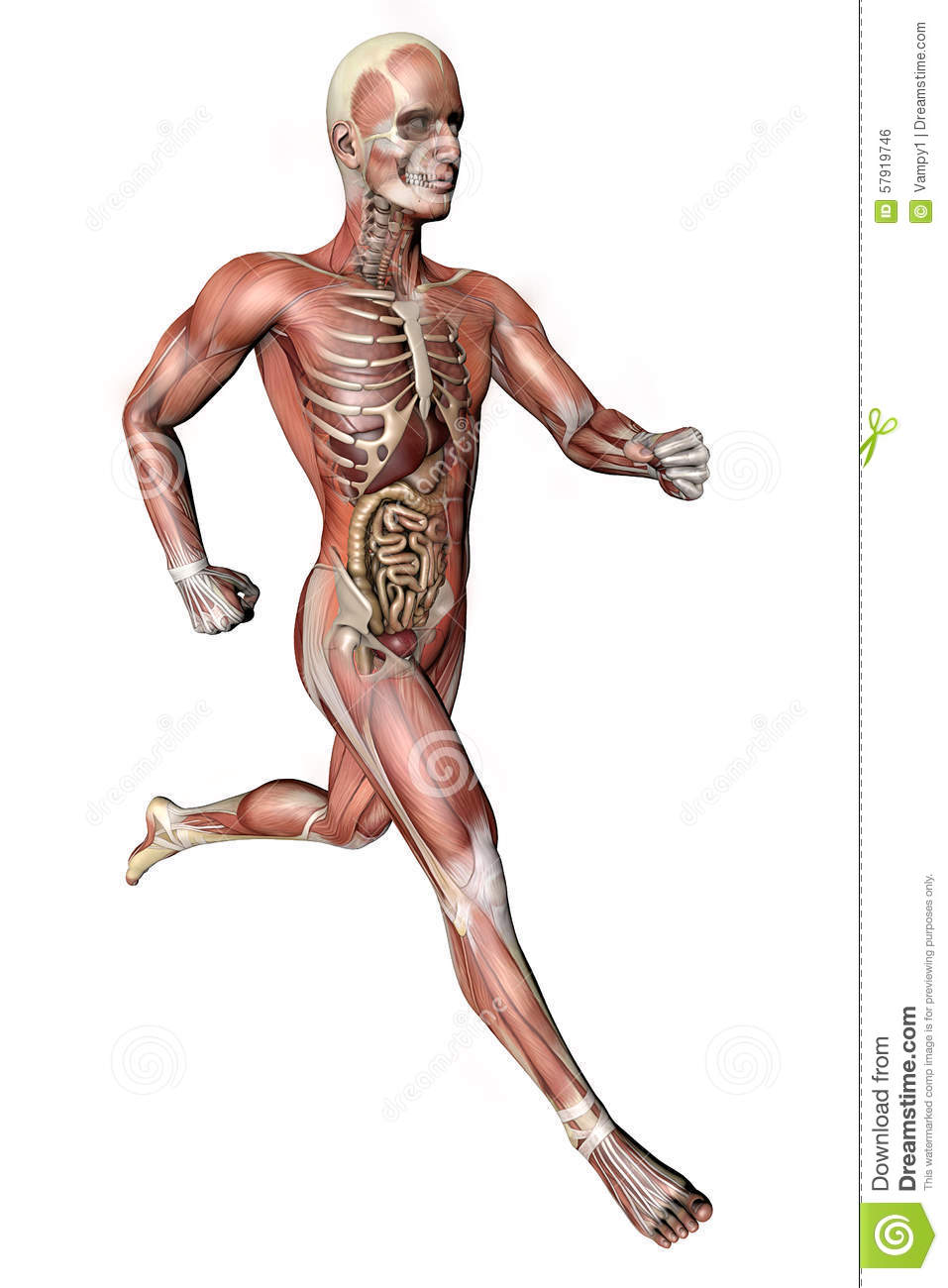 hight resolution of male body with skeletal muscles and organs