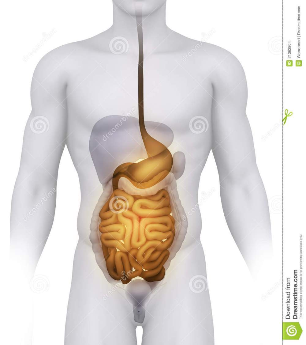 medium resolution of male digestive anatomy illustration