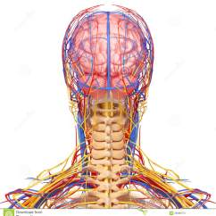 Healthy Heart Diagram Pickup Wiring Seymour Duncan Male Head Nervous And Circulatory System In Gray Stock Photos - Image: 26688473