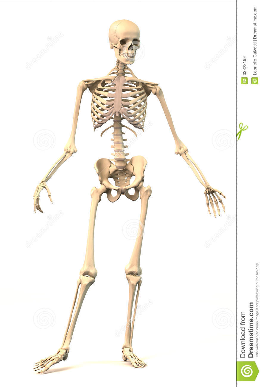 hight resolution of male human skeleton in dynamic posture front view