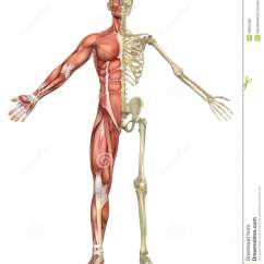 Human Skeleton And Muscles Diagram Network Schematic Male Muscular Split Front View Stock Illustration