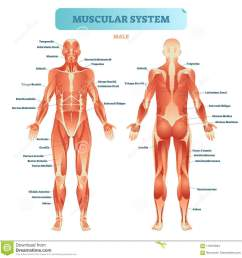 male muscular system full anatomical body diagram with muscle scheme vector illustration educational poster [ 1300 x 1353 Pixel ]
