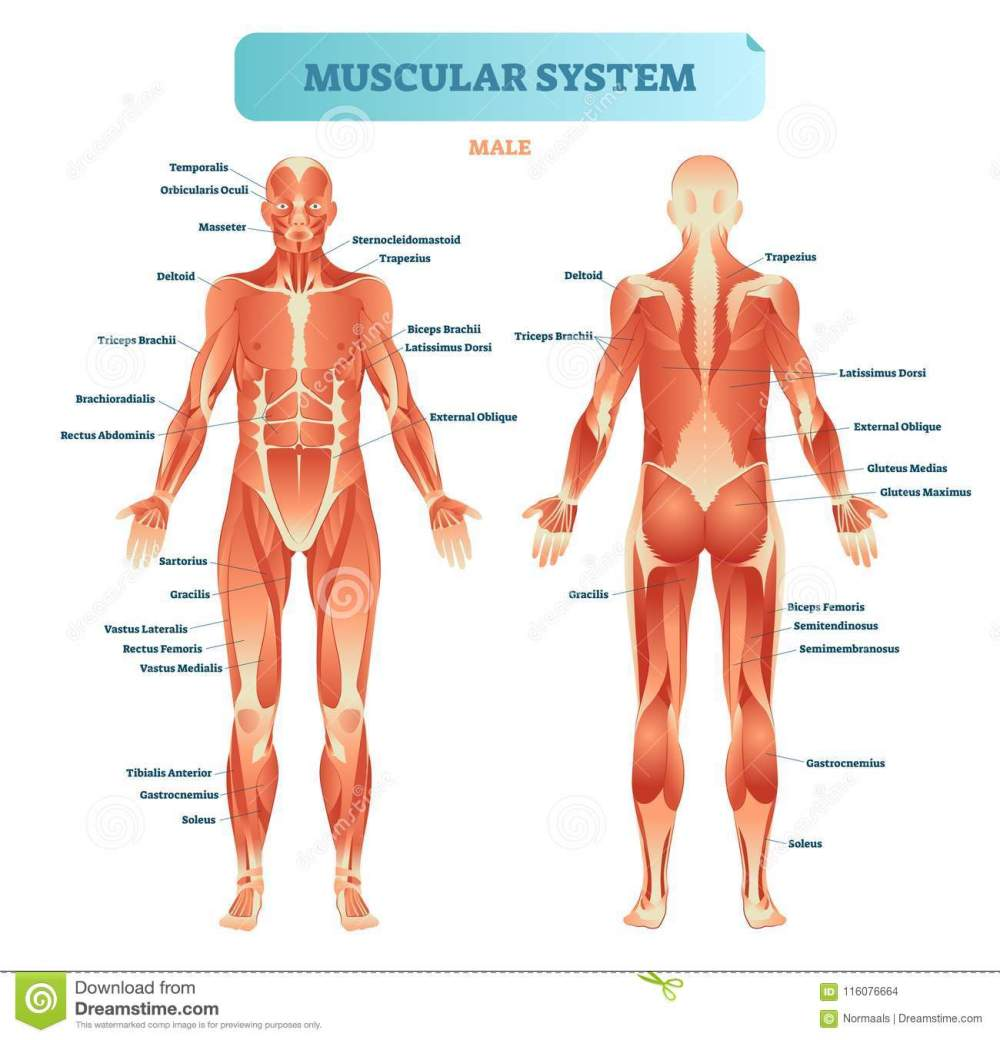 medium resolution of male muscular system full anatomical body diagram with muscle scheme vector illustration educational poster