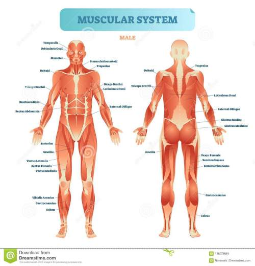 small resolution of male muscular system full anatomical body diagram with muscle scheme vector illustration educational poster