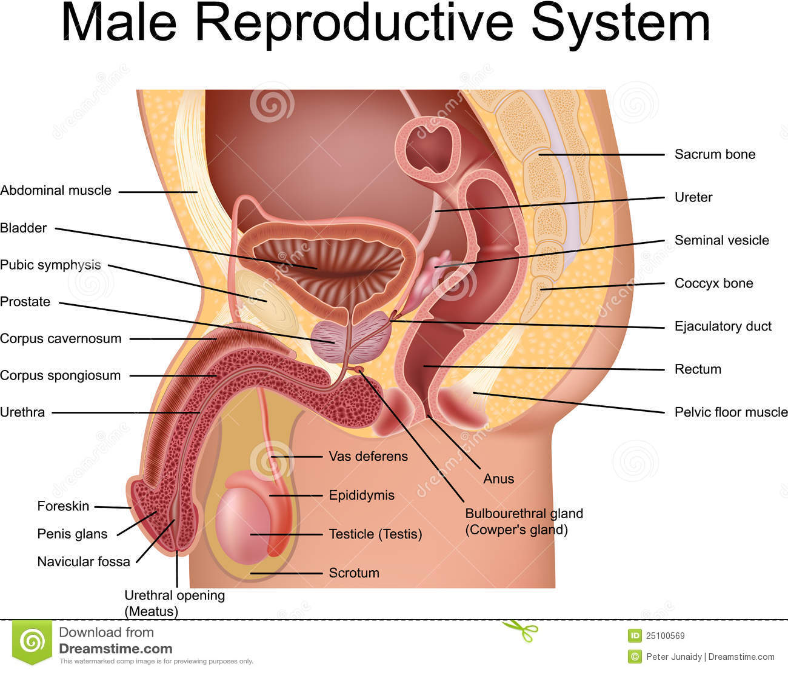 hight resolution of female abdoman anatomy diagram