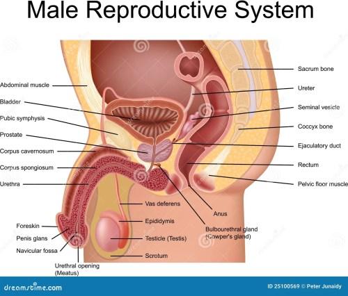small resolution of female abdoman anatomy diagram