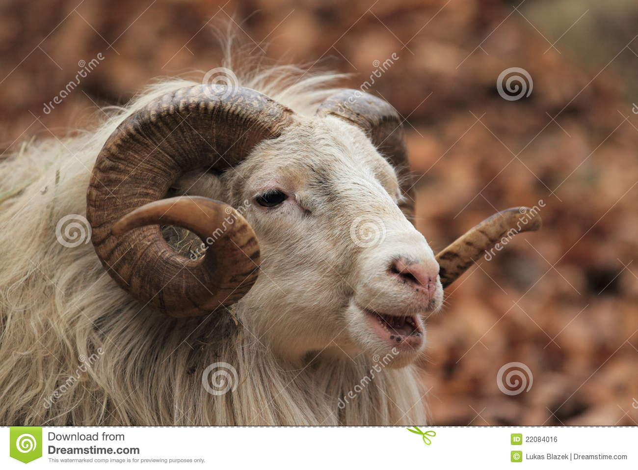 Male Sheep Stock Photo Image Of Animal Horn Detail