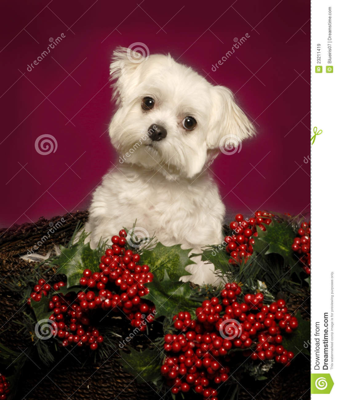 Maltese Puppy In A Christmas Basket Royalty Free Stock