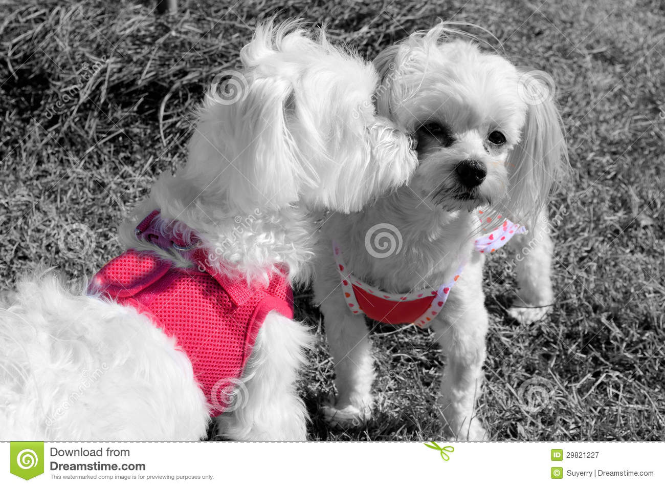 Puppy Love A Kiss On The Cheek Royalty Free Stock
