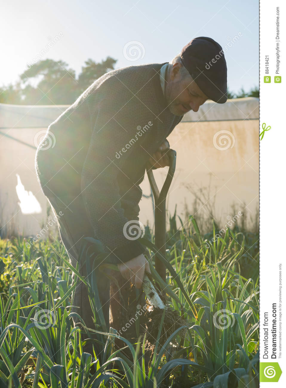 Man Holding Pitchfork While Pulling Leek From Ground Stock Image - Image of plant. root: 88418421
