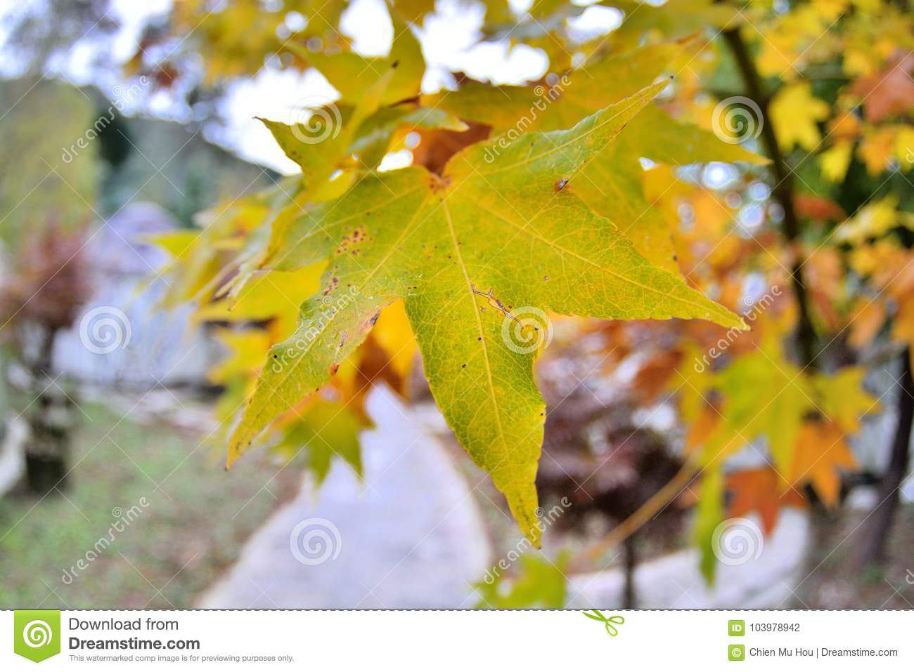Maple Leaf Is Autumn Background With Red Amp Yellow Leaves