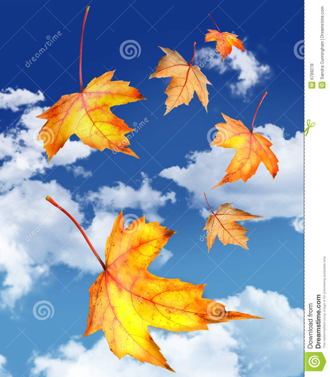 Fall Leaves Falling Wallpaper Maple Leaves Falling Against A Blue Sky Stock Photo
