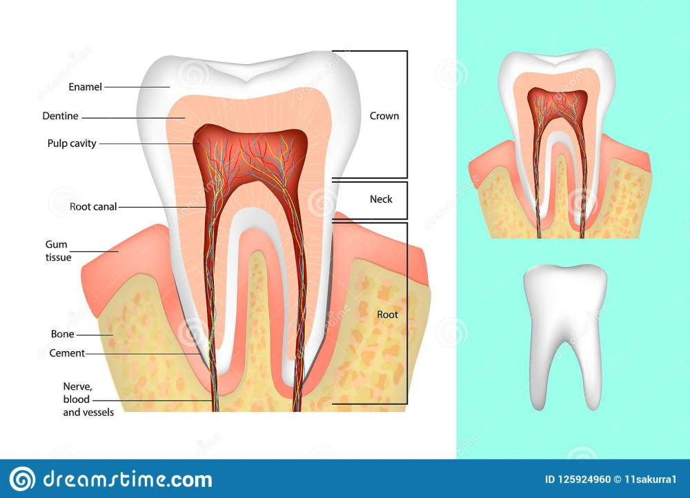 medium resolution of medical diagram of the structure of the inside cross section of the tooth
