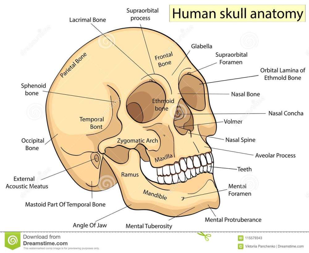medium resolution of medical education chart of biology for human skull diagram vector illustration front aspect table on white background for basic medical education