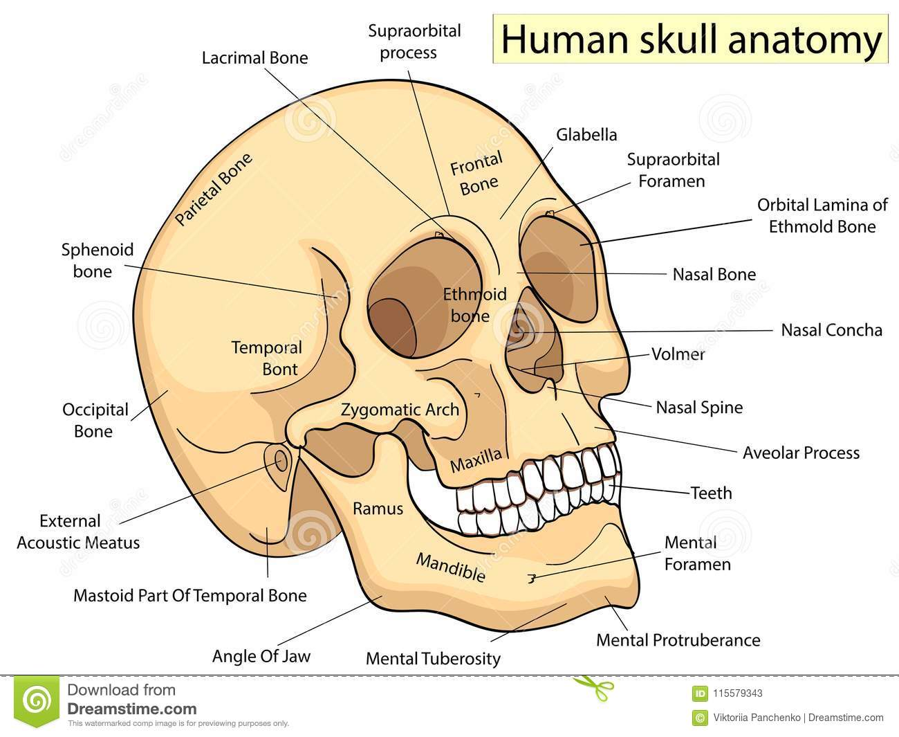 hight resolution of medical education chart of biology for human skull diagram vector illustration front aspect table on white background for basic medical education