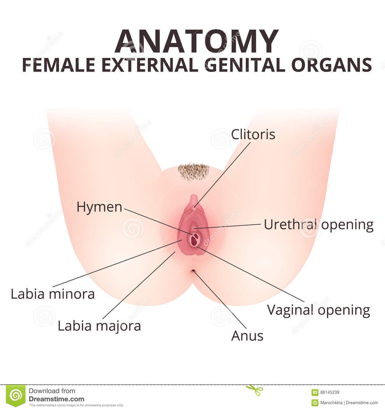 hight resolution of medical poster female anatomy vagina