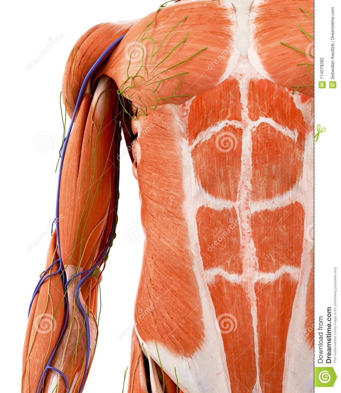 hight resolution of medically accurate illustration of the human upper arm anatomy