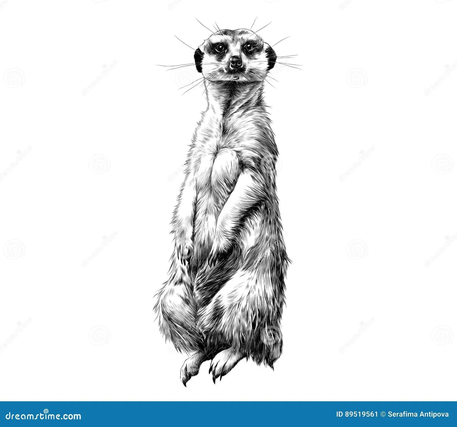 Meerkat Sketch Vector Graphics Stock Vector
