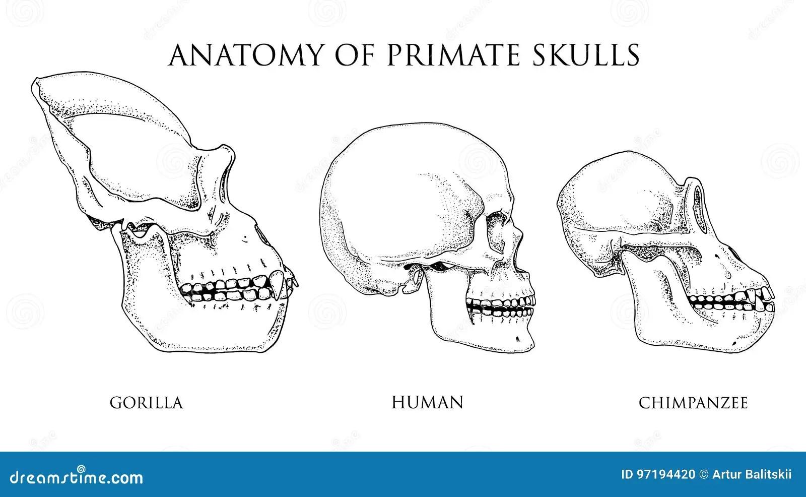 Mensch Und Schimpanse Gorilla Biologie Und