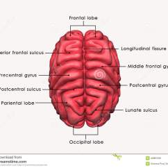 Frontal Brain Diagram No Labels 2003 S10 Stereo Wiring Menschliches Gehirn Beschriftet Stock Abbildung Bild
