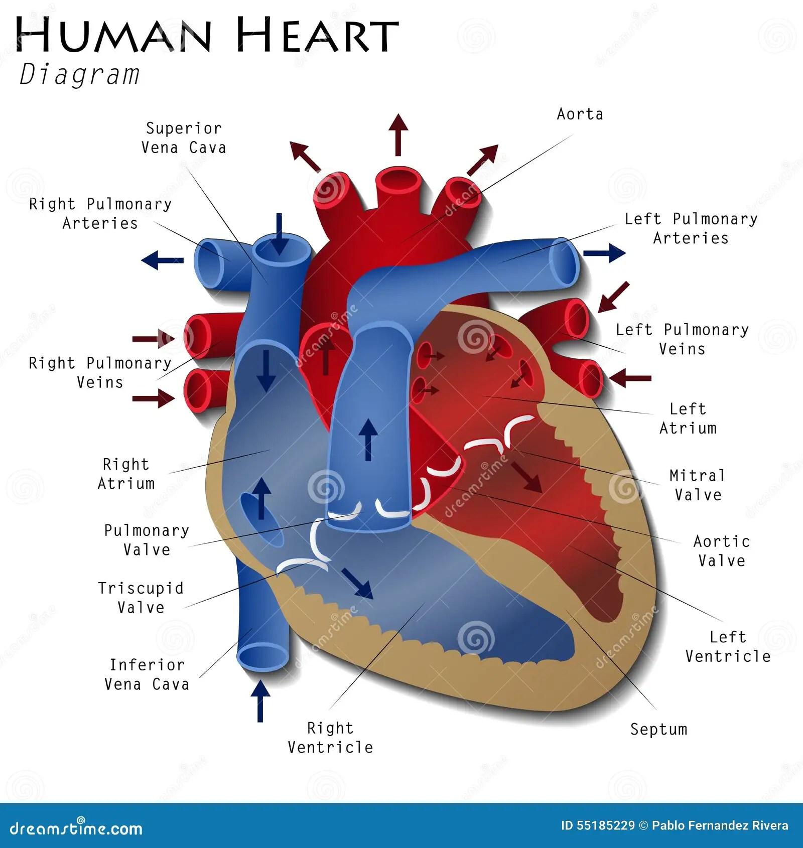 Menschliches Herz Diagramm Stock Abbildung Illustration Von Wissenschaft
