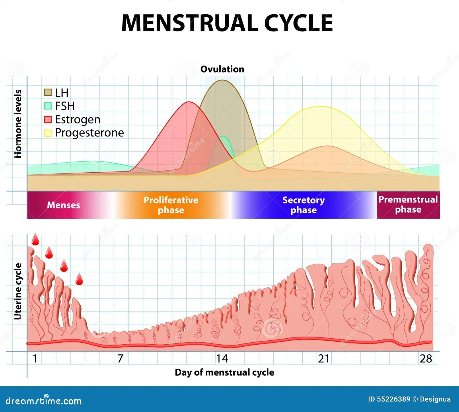 Menstrual Cycle Endometrium And Hormone Stock Vector