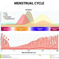 Menstrual Cycle Diagram With Ovulation Trailer Wire 6 Pin Endometrium And Hormone Stock Vector Illustration Menstruation Follicle Phase Corpus Luteum