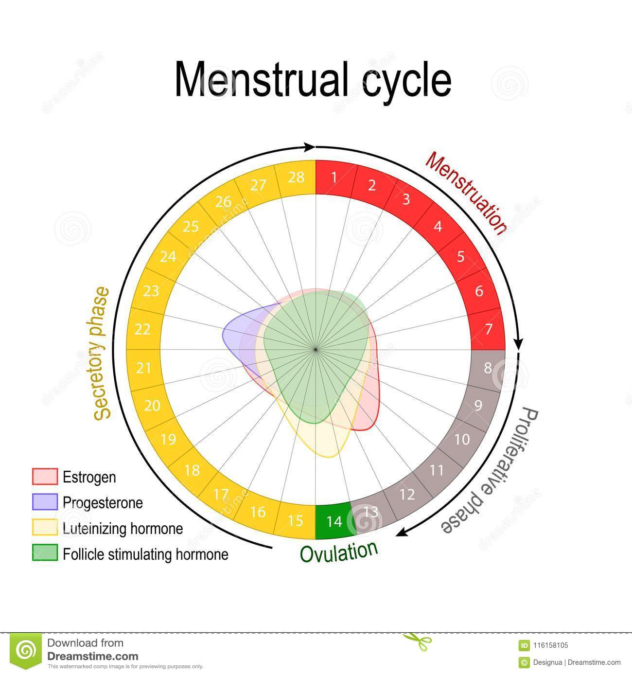 hight resolution of ovarian cycle follicular and luteal phase bleeding period and ovulation circular flow chart vector diagram